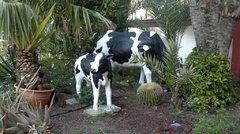 Коровы у входа в отель