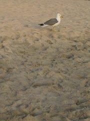 Чайка на Амадоресе)