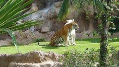 Loro Parque  Tigers 16