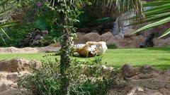 Loro Parque  Tigers 8
