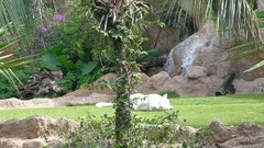 Loro Parque  Tigers 4