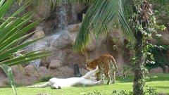 Loro Parque  Tigers 15