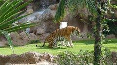 Loro Parque  Tigers 17