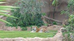 Loro Parque  Tigers 2