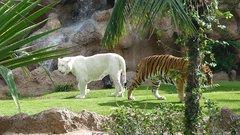Loro Parque  Tigers 18
