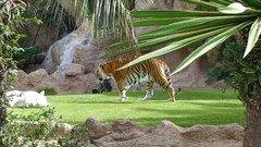 Loro Parque Tigers 6