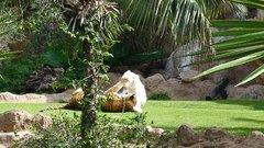 Loro Parque  Tigers 11