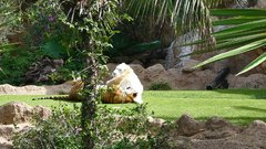 Loro Parque  Tigers 12