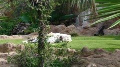 Loro Parque  Tigers 9