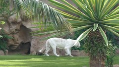 Loro Parque  Tigers 21