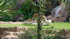 Loro Parque Tigers 7
