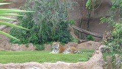 Loro Parque Tigers 3