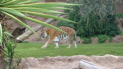 Loro Parque Tigers 5