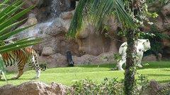 Loro Parque  Tigers 20