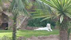 LoroParque Tigers 22