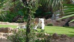 Loro Parque  Tigers 13