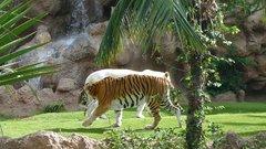 Loro Parque  Tigers 19