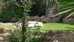 Loro Parque Tigers 10