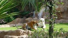 Loro Parque Tigers 14