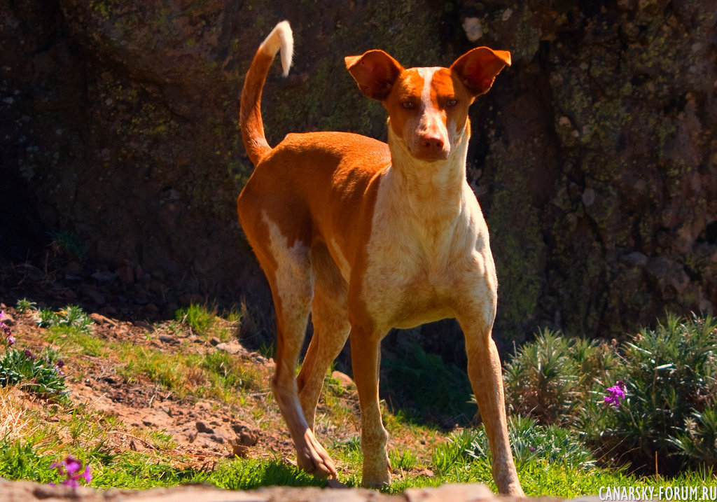 Местная порода собак  Podenco canario