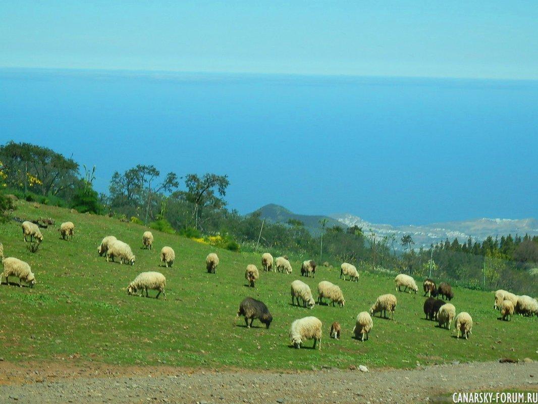 Овцы на пастбище...