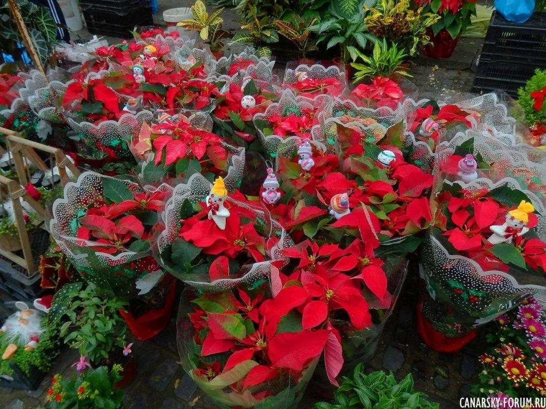 Пуансетия или Рождественская звезда