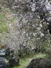 Цветение миндаля на Гран-Канария 4