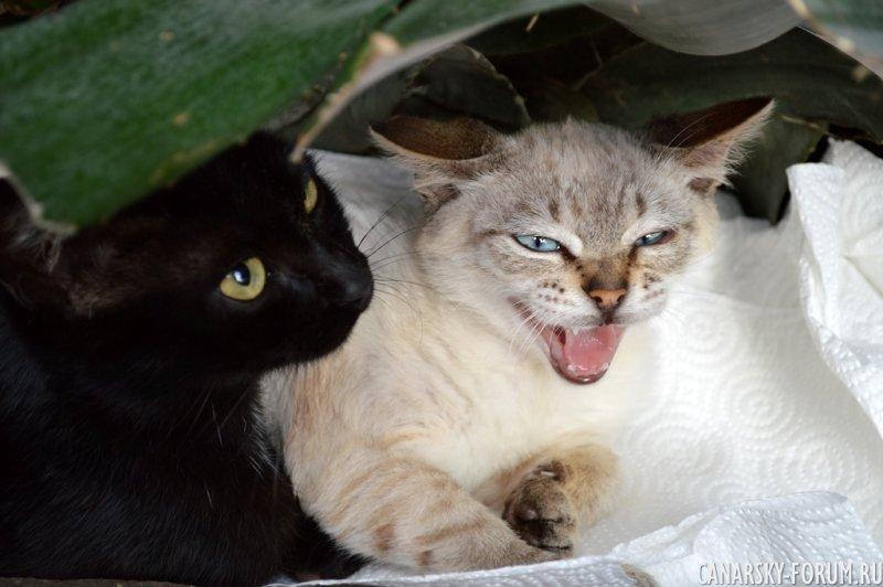 Канарские кошки