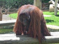 орангутан