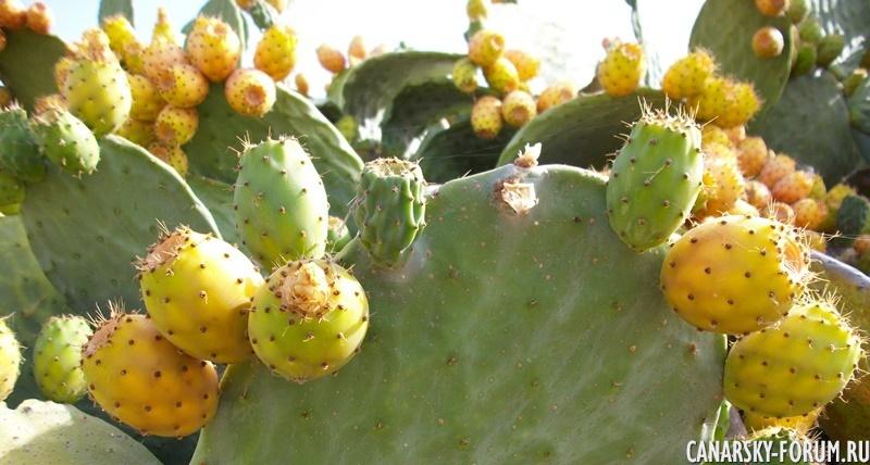 Сезон сбора плодов Тунера с кактусов на Гран-Канария.jpg
