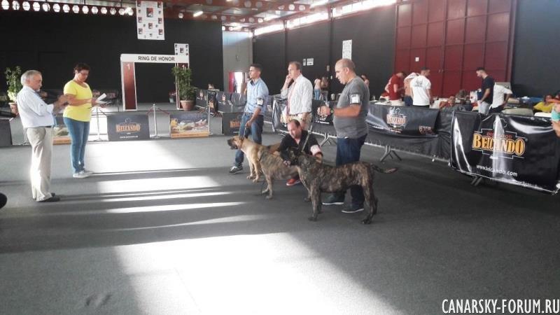 Выставка собак (Преса Канария или Канарский дог). Июнь 2017